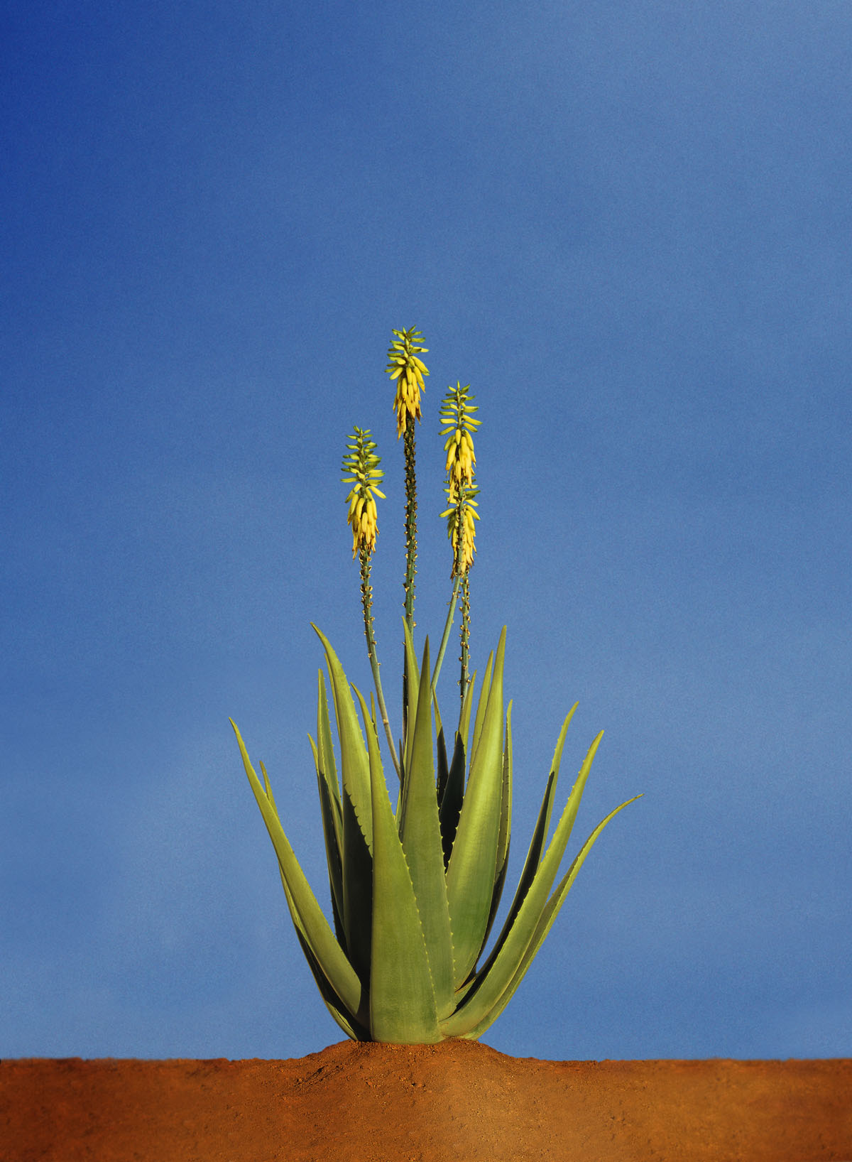 aloes forever
